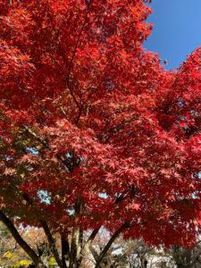 小田原城内の紅葉